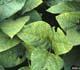 Soybean rust damage