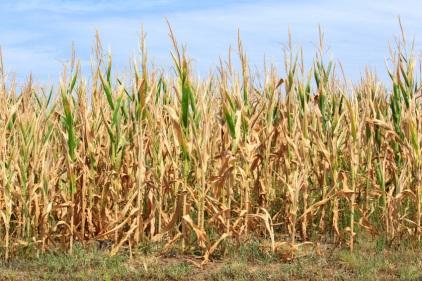 Image: Drought-damanged Cornfield