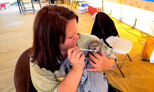 Laurie Pearson, Fire Information Officer, feeds the baby bobcat found near the Chips Fire in Northern California. US Forest Service photo.