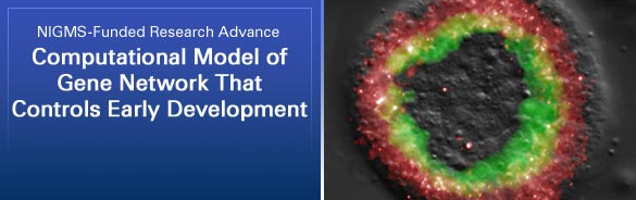NIGMS-Funded Research Advance: Computational Model of Gene Network That Controls Early Development