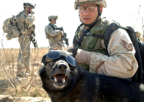 """Image description:Tech. Sgt. John Mascolo and his military working dog, Ajax, wait for a helicopter pickup outside of Iraq in 2006. Ajax is wearing """"doggles"""" to prevent sand and debris from getting in his eyes. Photo by Pfc. William Servinski II, U.S. Army"""