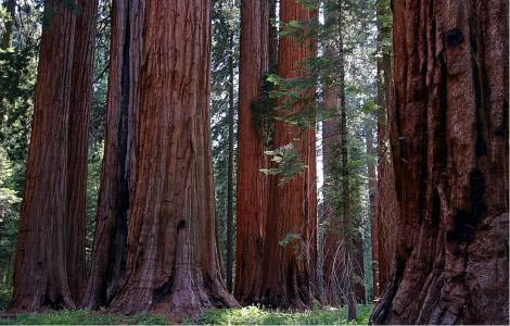 Muir Grove of Giant Sequoias at Sequoia National Park near Dorst Campground.