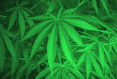 Photograph of marijuana plants