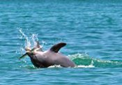 bottlenose dolphin - Dolphin Ecology Project