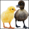 A chick and a duckling
