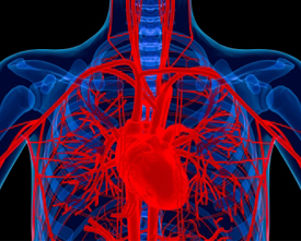 Copyrighted photo of a human heart