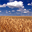 [PHOTOGRAPH] Wheat field [Public domain photo by Stephen Ausmus for the United States Department of Agriculture, Agricultural Research Service. Image source: http://j.mp/M6v7Fd ]