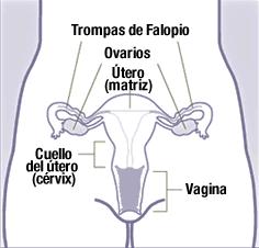 El cuello del útero conecta al útero (o matriz) con la vagina.
