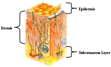Illustration, indicating epidermis, dermis, and subcutaneous layer.