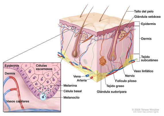 Anatomía de la piel con melanocitos; el dibujo muestra la anatomía de la piel normal, con la epidermis, la dermis, los folículos pilosos, las glándulas sudoríparas, los tallos del pelo, las venas, las arterias, el tejido graso, los nervios, los vasos linfáticos, las glándulas sebáceas y el tejido subcutáneo. La ampliación muestra las capas de células escamosas y de células basales de la epidermis sobre la dermis con vasos capilares. Se muestra la melanina en las células. Se muestra un melanocito en la capa de las células basales en la parte más profunda de la epidermis.