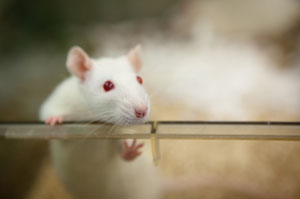 This photograph shows a white rat peering over the top of a glass cage.