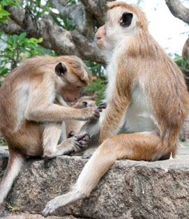 Photo shows two monkeys sitting close together; one of the monkeys is grooming the other.