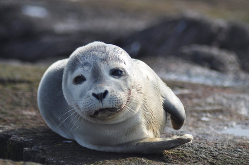 Image description: A Harbor seal lounges at Nantucket National Wildlife Refuge in Massachusetts. Photo by Amanda Boyd, U.S. Fish and Wildlife Service