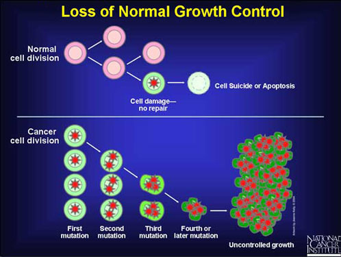 Image titled Loss of Normal Growth Control. The image shows normal cell division and normal cell suicide or apoptosis of a damaged cell. It also shows cancer cell division, through several mutation stages, ending in uncontrolled growth.