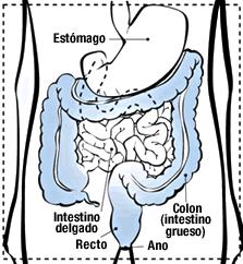 El colon es parte del intestino grueso que está junto al recto.