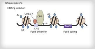 Acetylation of the promoter region of FosB after 7 days of nicotine exposure