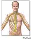 Ilustración del sistema nervioso, incluyendo el cerebro, la médula espinal y los nervios periféricos