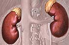Kidneys and adrenal glands in cartoon illustration