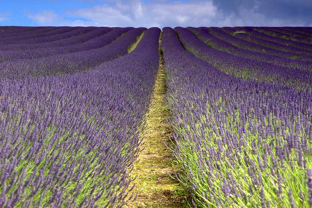 Hitchen Lavender (Explored)