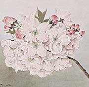 Sakura: Cherry Blossoms as Living Symbols of Friendship