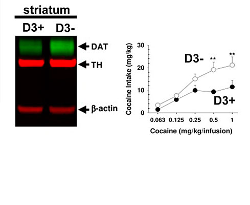 Results from a recent study in a mouse model of cocaine addiction suggest that the type 3 dopamine receptor (D3R) may play a protective role against the addictive power of cocaine