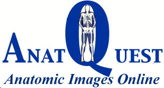 Anatomic Images Online