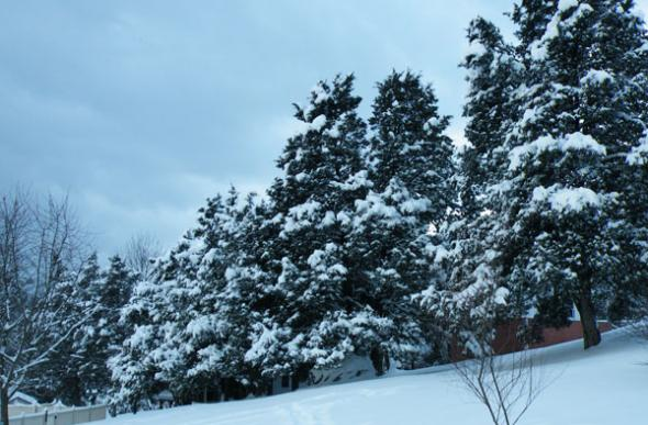 Pine trees covered in snow with a blustery gray sky.