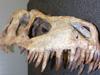 Tyrannosaurus Dinosaur Skeleton