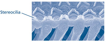 High resolution hair cells of the inner ear