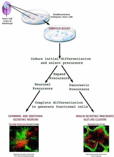"""Directed differentiation of mouse embryonic stem cells.  This figure is a flow chart showing the steps scientists take to isolate and differentiate mouse embryonic stem cells.  A mouse blastocyst is shown in the upper left, with its inner cell mass (ICM) labeled.  Arrows indicate removal of the ICM and plating in a tissue culture dish, labeled as """"undifferentiated embryonic stem cells.""""  The next arrow indicates the passage of time and shows that the cells in the plate have now become embryoid bodies.  From this culture dish, an arrow indicates that the next step is """"induce initial differentiation and select precursors.""""  Next, two arrows show two possible fates, and the label underneath indicates that the scientists """"expand precursors.""""  The two possible precursor types are """"neuronal precursors"""" or """"pancreatic precursors.""""  The final step indicates """"complete differentiation to generate functional cells.""""  The bottom left shows a fluorescently labeled microscope image of """"dopamine- and serotonin-secreting neurons"""" and the bottom right shows a fluorescently labeled microscope image of """"insulin-secreting pancreatic islet-like clusters."""""""