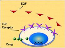 Drug targets on a cell