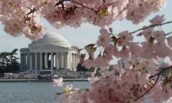 The Jefferson Memorial peeks through the cherry blossoms, DC's springtime signature.