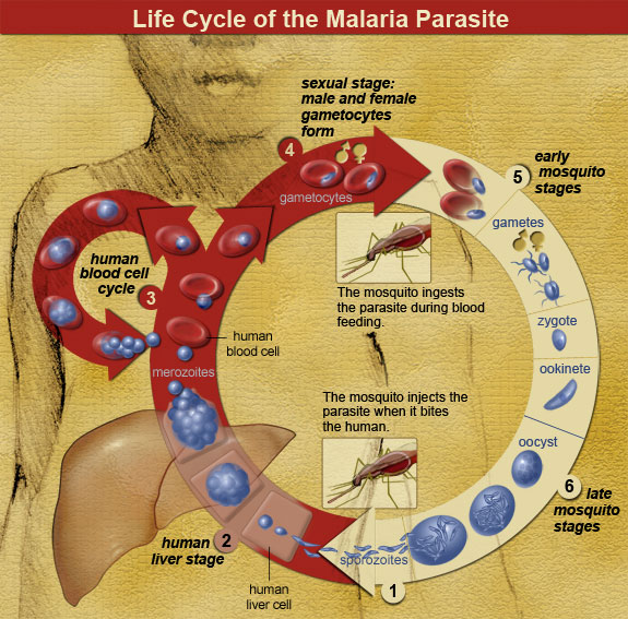 Life Cycle of the Malaria Parasite