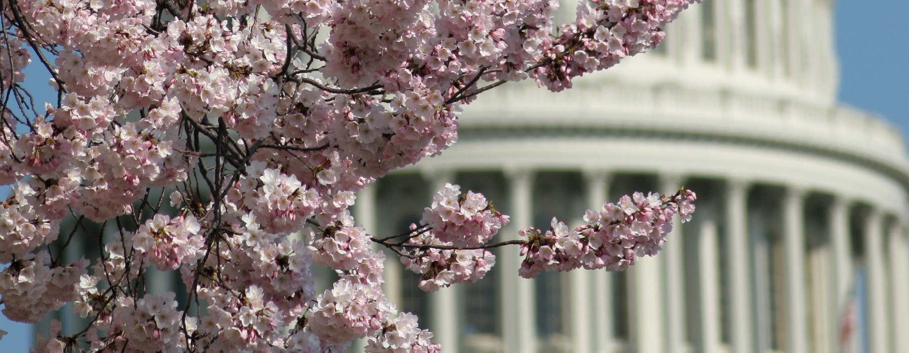 Cherry Blossoms with the United States Capitol Dome in Washington, DC