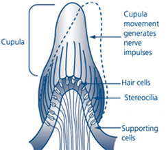 Figure 2: The role of the cupula in balance