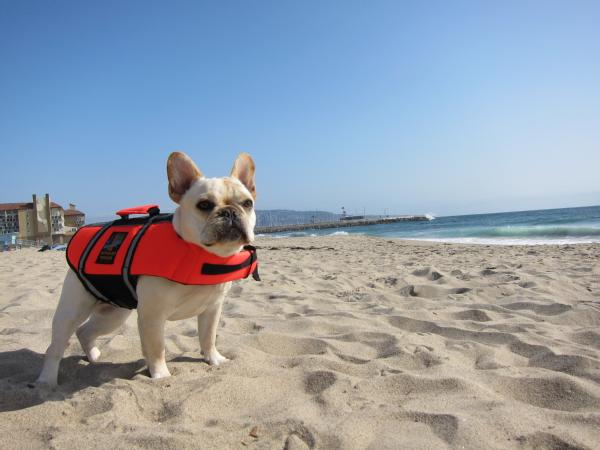 Image description: This dog's owner made sure a pet life jacket was included in her emergency supply kit. Learn more about how to make sure your animals are cared for during an emergency. Photo from the Department of Homeland Security