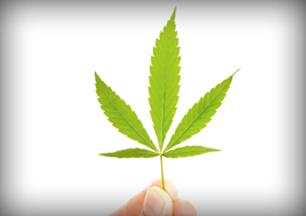 A hand holding a Marijuana leaf
