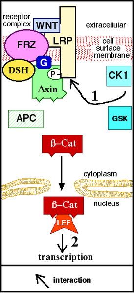 Diagram: Canonical WNT Pathway