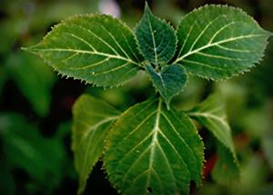 A S. divinorum plant.