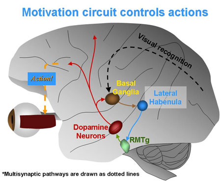 Hikosaka and Hong showed that when a subject sees a reward or punishment, a brain circuit is activated that energizes or slows eye movements.
