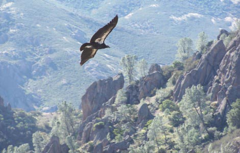 Condor flying at Pinnacles National Park - NPS Photo.
