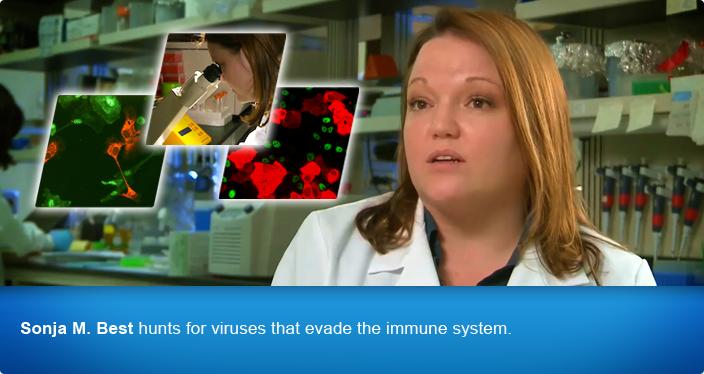 Sonja M. Best hunts for viruses that evade the immune system.