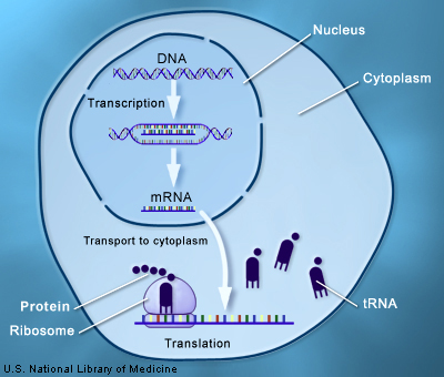 Through the processes of transcription and translation, information from genes is used to make proteins.