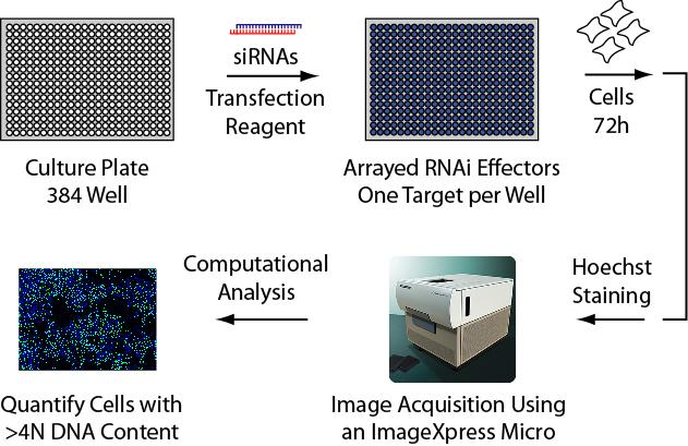 Screen for DNA Re-Replication in Cancer Cells