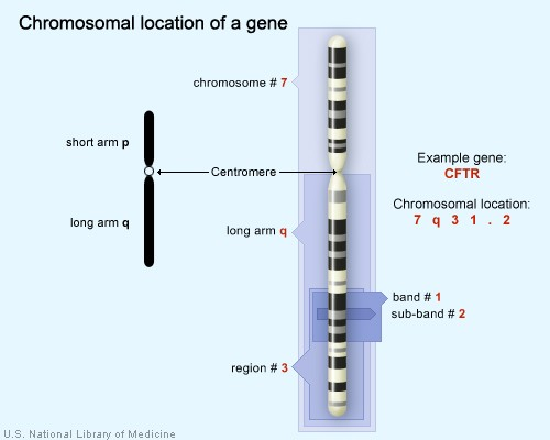 The  gene is located on the long arm of  at position 7q31.2.