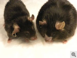 The obese mouse on the right was fed a high-fat diet. The mouse on the left was fed the same diet but is a normal weight after receiving amlexanox. Image credit: Shannon Reilly.