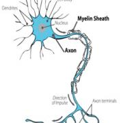 Picture of an axon
