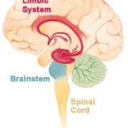A diagram of the brain anatomy, highlighting the location of the brainstem. The brainstem is located between the brain and the spinal cord.