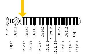 The KL gene is located on the long (q) arm of chromosome 13 at position 12.