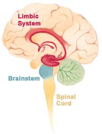 El cerebro y el sistema nervios